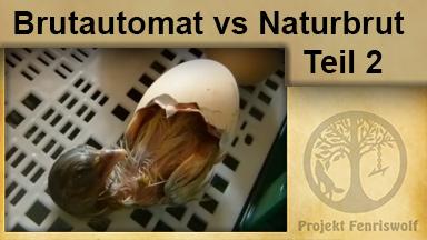 Brutautomat vs. Naturbrut 2